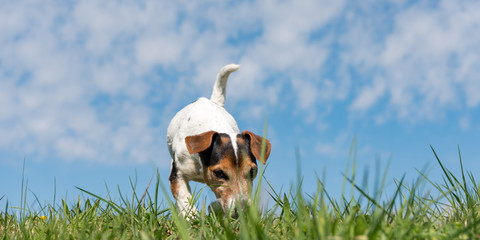 small dog follows a track in the season spring. Jack Russell Terrier