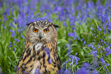 Eagle Owl (Bubo bubo) or Horned Owl in Bluebells Wall mural