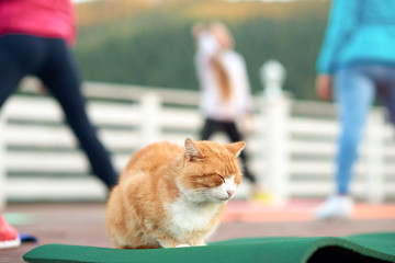 Ginger cat sleeping while women practicing fitness.