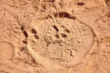Big cat footprint in elephant footprint on safari in Tanzania