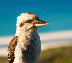 Kookaburra At Beach