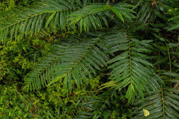 Green leaves background. Tropical Plant,environment,photo concept nature and plant.