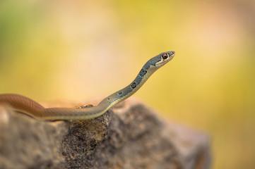 Dahl's whip snake Platyceps najadum in Paklenica Croatia
