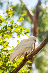 Sulphur-Crested Cockatoo Bird