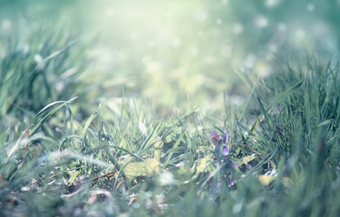 Spring is coming, light blue border background with grass and violet flower, shine, blurred image with place for text