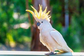 Yellow-Crested Cockatoo Bird