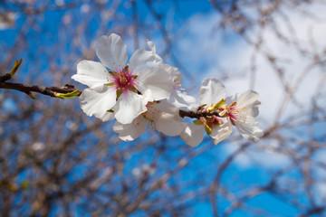 almond tree blossom close-up