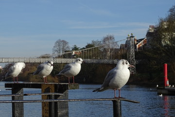 Gulls on the River Dee, Chester