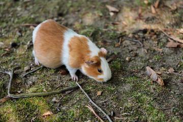 Full body of white-brown domestic guinea pig (Cavia porcellus) cavy.
