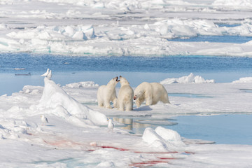Wild polar bear (Ursus maritimus) mother and two young cubs on the pack ice, north of Svalbard Arctic Norway