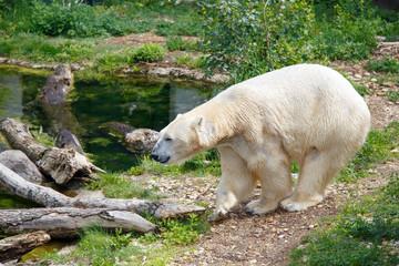 Printed roller blinds Polar bear Polar bear walking near small river on summer day