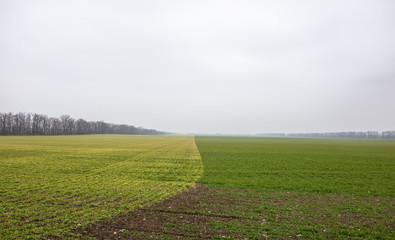 winter wheat field green contrast winter