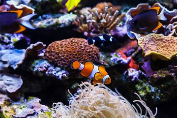 Echter Clownfisch (Amphiprion percula)