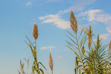 wheat cereals rural agrarian photography concept from below on soft blue sky background with empty copy space for your text or inscription