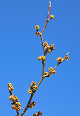 twig of a blooming virginian witch hazel