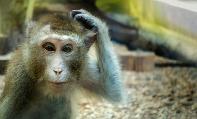 monkey scratching his head, the animal began to think