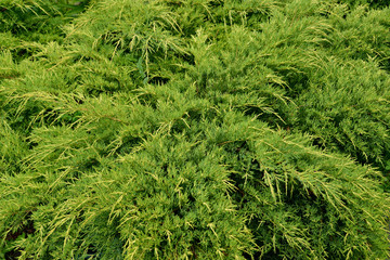 Juniper Cossack (Juniperus sabina L.). Background