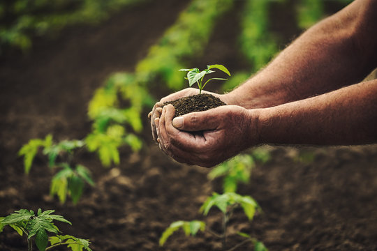 Farmer holding pepper plant in hands on field, homegrown organic vegetables