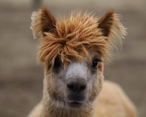 llama, portrait of a llama with long eyelashes