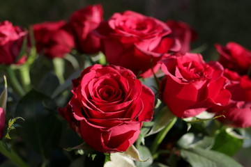 Hybrid Tea, Red rose, bouquet of roses