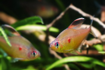 Hyphessobrycon socolofi, bleeding heart tetra, wild freshwater fish from Barcelos, Rio Negro, competing males in natural biotope aquarium, nature photo