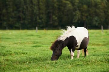 Pony grazes free in the meadow.