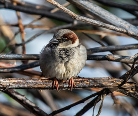 A house sparrow close-up in winter