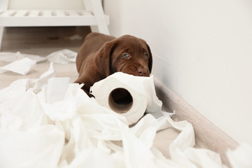 Cute chocolate Labrador Retriever puppy and torn paper on floor indoors Wall mural