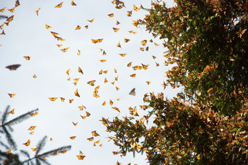 Monarch butterflies arriving at Michoacan, Mexico, after migrating from Canada. Wall mural