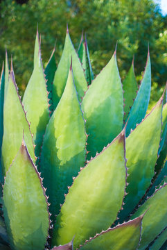 Close up of large Shaw's Agave