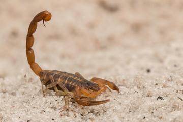 Florida striped scorpion - Centruroides vittatus