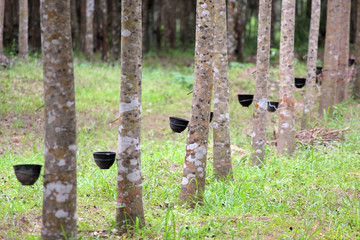 row of rubber tree with tapping latex