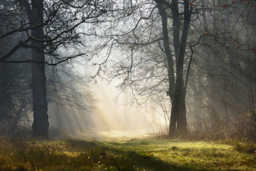 Obraz Magic mystical foggy forest with sunbeams in the morning - fototapety do salonu