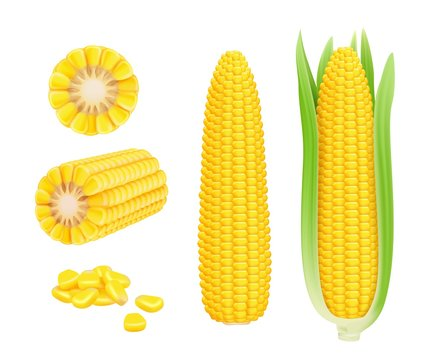Corn cob realistic. Yellow canned fresh corn vegetables harvest sweetcorn vector template. Illustration of corn vegetable, realistic nutrition