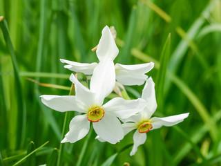 Papiers peints Narcisse Flowering wild narrow leaf narcissus in natural habitat close-up