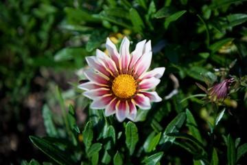 Flower pink Daisy close-up.