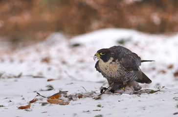 View of a peregrine falcon standing on the snow with leathers of prey in the beak