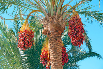Ripe fruits of date tree hang on tree. Dates hang on tree. Tropical fruits