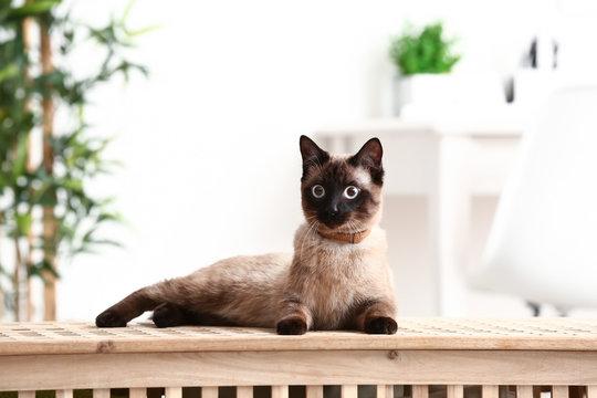 Cute funny Thai cat at home