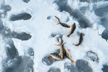 Eight perch on a snow in a frozen lake. Ice fishing From above. Selective focus