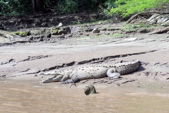 American Crocodile - Grijalva River in Sumidero Canyon - Chiapas, Mexico