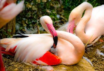 Foto op Canvas Flamingo flamingo mother feeding baby. mother love for bird child