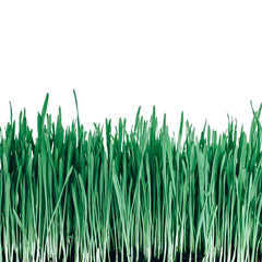 sprouts of green wheat grass