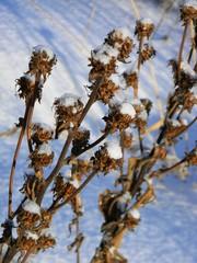 dry plant on snow background