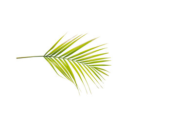Palm branch with green leaves