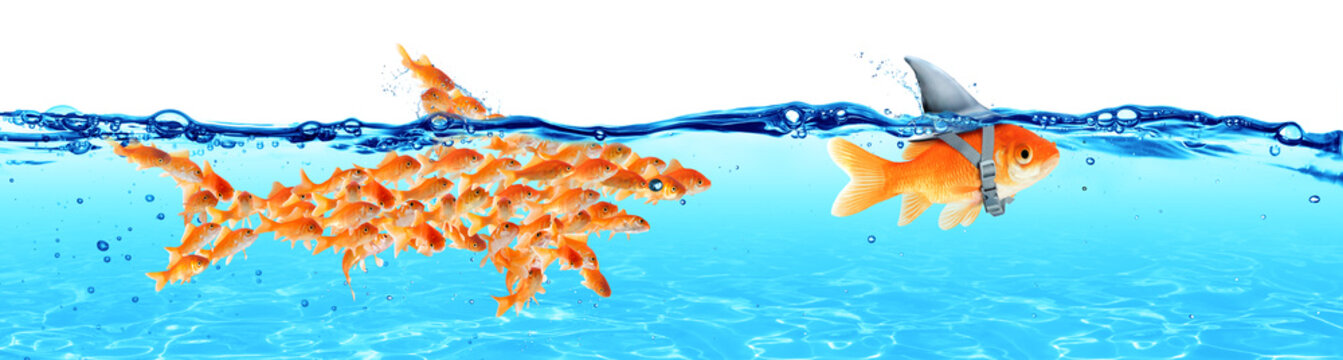 Business - Leadership And Teamwork Concept - Goldfish With Fin Shark And Followers Group Of Small Fishes