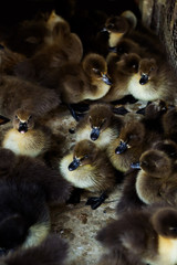 Innocence duckling in the cage