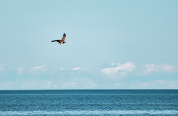 Hawk soaring above the water and hunting for fish