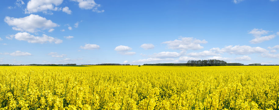 Idyllic landscape, yellow colza fields under the blue sky and wh