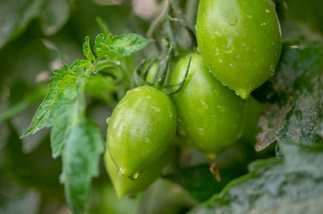 Organic green cherry tomatoes growing in greenhouse